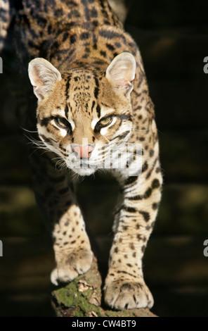 Ocelot, Leopardus pardalis, Felidae. Also Known as the Dwarf Leopard. - Stock Image