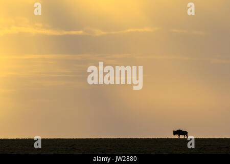 Western White-bearded Wildebeest (Connochaetes taurinus mearnsi) on the horizon under the golden light of dawn - Stock Image