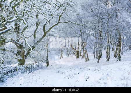 Birch and other trees on a snowy winter day covered with snow in Esk Dale in North York Moors national park - Stock Image