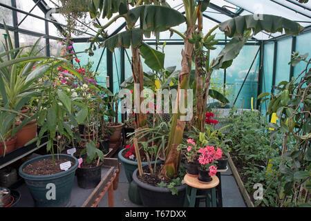 bananas, pineapple, bourganvillea in UK greenhouse - Stock Image