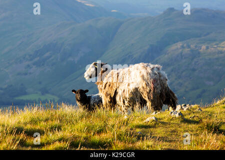 A Herdwick sheep and lamb on Red Screes in the Lake District, UK. - Stock Image