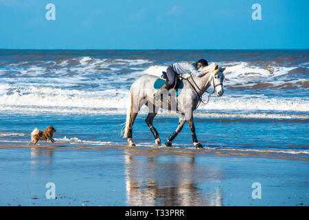 Horse and rider with pet dong on Holkham bay beach on North Nolfolk coast, East Anglia, England, UK. - Stock Image
