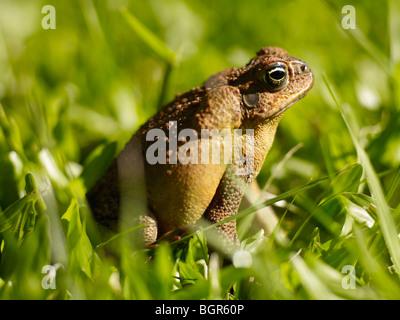 Close-up of cane toad Queensland Australia - Stock Image
