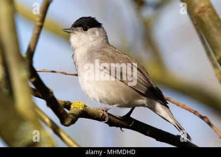 male Blackcap (Sylvia atricapilla) - Stock Image