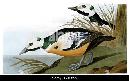 Steller s Eider, Polysticta stelleri, birds, 1827 - 1838 - Stock Image