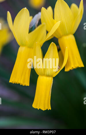 A closeup view of Narcissus cyclamineus Daffodil Daffodils. - Stock Image