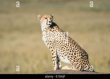 A cheetah sitting on a termite mound in the Masai Mara in Kenya. - Stock Image