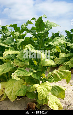 Tobacco plant - Stock Image