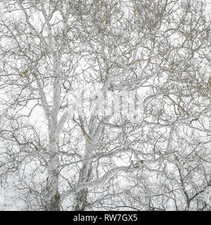 Low Angle View of American Sycamore Tree against Gray Sky - Stock Image