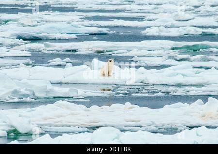 Solitary Polar Bear, Ursus Maritimus, sitting on melting ice, Olgastretet Pack Ice, Svalbard Archipelago, Norway - Stock Image