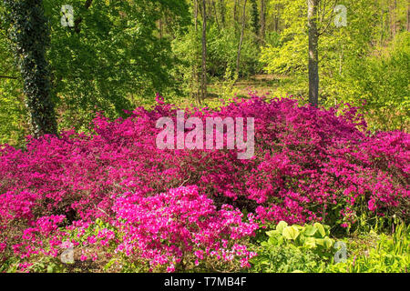 A group of pink azalea bushes growing in partial shade in north east Italy - Stock Image