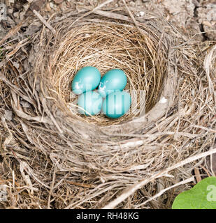 Robin's nest with four eggs: Four blue American Robin eggs in a well built nest of dried grasses and twigs. - Stock Image