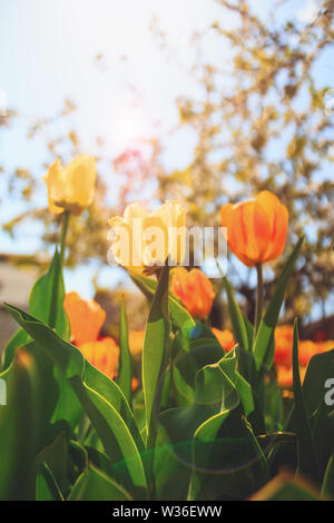 Beautiful tulips flowers of yellow color in the sunlight - Stock Image