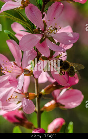 honey bee collecting pollen at a shrub with pink blossoms - Stock Image
