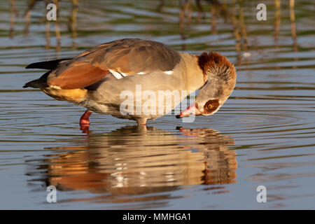 Egyptian Goose (Alpochen aegyptiacus) preening its breast feathers while standing in a shallow pond - Stock Image