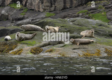 Group of common seals or harbour seals (Phoca vitulina) hauled out on island in sea loch, on the isle of Skye, Scotland. - Stock Image