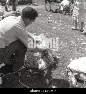 1960s, historical, sheep shearing, in an enclosure by a stone wall, a farmer using scissors clips the wool off a sheep, England, UK. - Stock Image