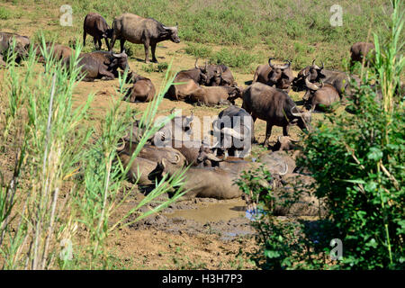 Herd of African buffalo or Cape buffalo wallowing n a mud hole of a dried up river in the Hluhluwe–iMfolozi Park - Stock Image