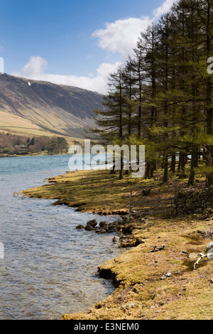 UK, Cumbria, Lake District, Buttermere, stand of lakeside pine trees - Stock Image