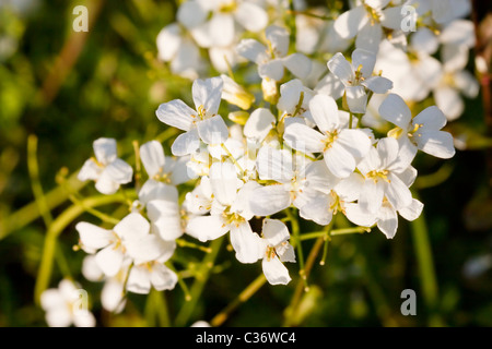 Close-up image of blossom Arabis vochinensis (rockcress) in spring time. - Stock Image