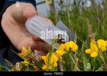 Short-haired bumblebee queen (Bombus subterraneus) collected in Sweden being released onto Birdsfoot trefoil flowers (Lotus corniculatus) during a UK reintroduction project run by the Bumblebee Conservation Trust / RSPB / Hymettus, RSPB Dungeness Nature Reserve, Kent, UK, May. Model released. - Stock Image