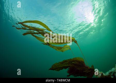 Bull kelp in current - Stock Image