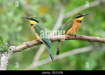 A pair of little bee-eaters (Merops pusillus), one of which has a hoverfly in its beak.  Queen Elizabeth National Park, Uganda. - Stock Image