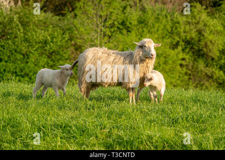 Two lambs and their mother in the grass - Stock Image
