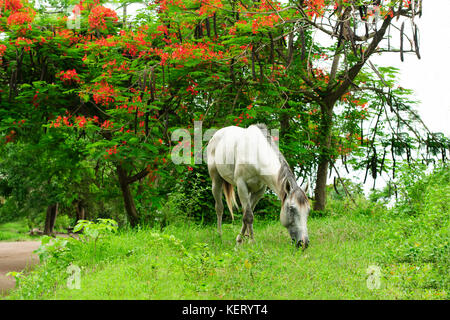 Horse grazing is a white horse in a beautiful nature setting grazing on the grass. - Stock Image