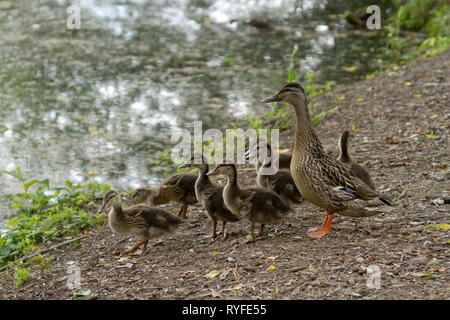 A wild mother duck by a pond with a clutch of fuzzy ducklings - Stock Image