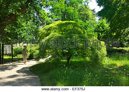 A visitor to botanical garden of Westphalian Wilhelm University of Münster walks past a Japanese maple, Acer - Stock Image