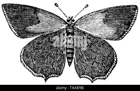 Wood cut engraved illustration, taken from 'The Treasury of Natural History' by Samuel Maunder, published 1848 - Stock Image