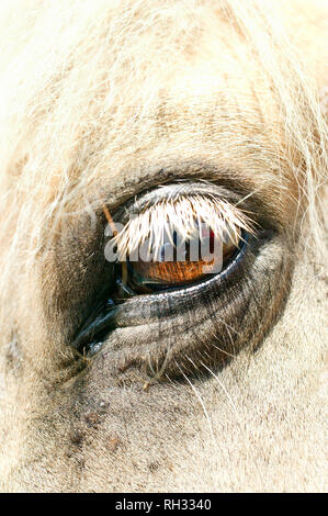 Eye of a horse - Stock Image