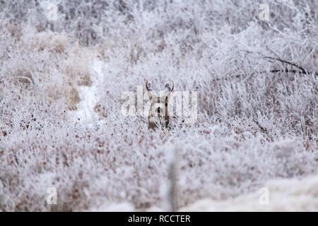 Winter Frost Saskatchewan Canada ice storm deer - Stock Image