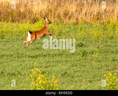 A young white-tailed deer in mid-flight near Sussex, Kings County, New Brunswick, Canada. - Stock Image