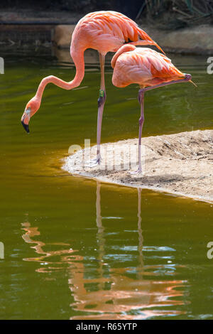 Flamingoes in captivity. - Stock Image