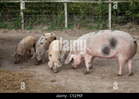 Sow with piglets at Hillside Animal Sanctuary in Norfolk - Stock Image