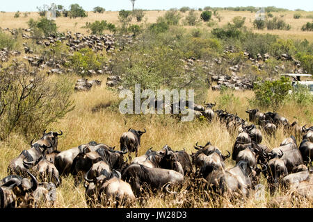 Western White-bearded Wildebeest (Connochaetes taurinus mearnsi) gathering near the river, about to cross the river - Stock Image