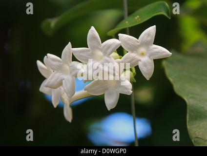 Madagascar Jasmine, Waxflower, Hawaiian Wedding Flower, Stephanotis floribunda, Apocynaceae. Madagascar, Africa. - Stock Image