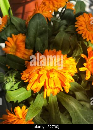 calendula orange flowers - Stock Image