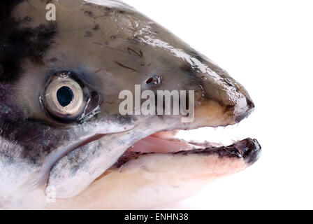 Salmon head close up. White background. - Stock Image