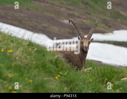 Ibex at Brienzer Rothorn - Stock Image