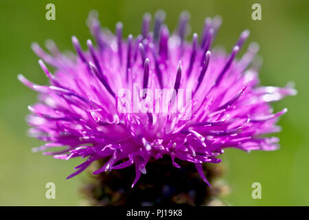 Lesser Knapweed (centaurea nigra), sometimes Hardheads, a close up of a single back-lit flower head. - Stock Image