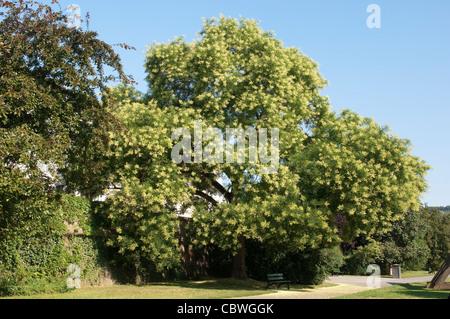 Pagoda Tree (Styphnolobium japonicum, Sophora japonica), flowering tree. - Stock Image