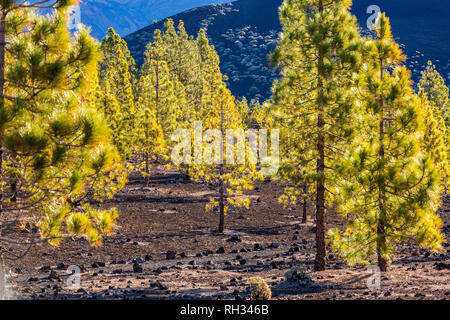 Pinus canariensis, canarian pine trees growing in the volcanic landscape in the Las Canadas del Teide national park, Tenerife, Canary Islands, Spain - Stock Image