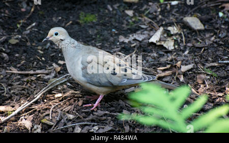 A mourning dove walks along the ground. - Stock Image