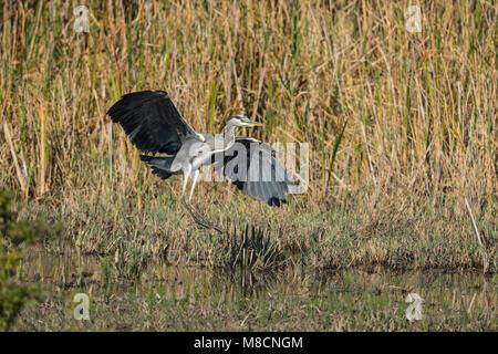 Grey heron landing (Ardea cinerea) - Stock Image
