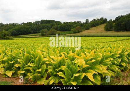 Tobacco field smoke in Bergerac, Dordogne, France - Stock Image
