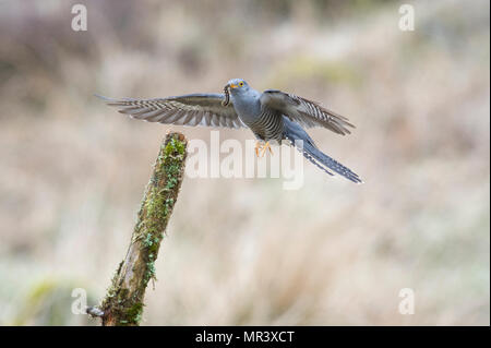 A Cuckoo (Cuculus canorus) flying back to a perch with a freshly caught caterpillar. - Stock Image