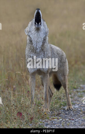 Full throated howl thrown skyward by wild coyote wiht jaws wide open and lifted upward in long call - Stock Image